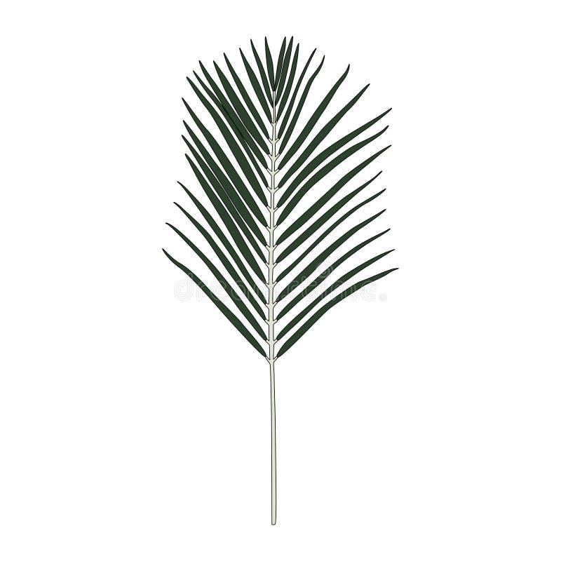 Illustration of Areca palm leaf vector illustration