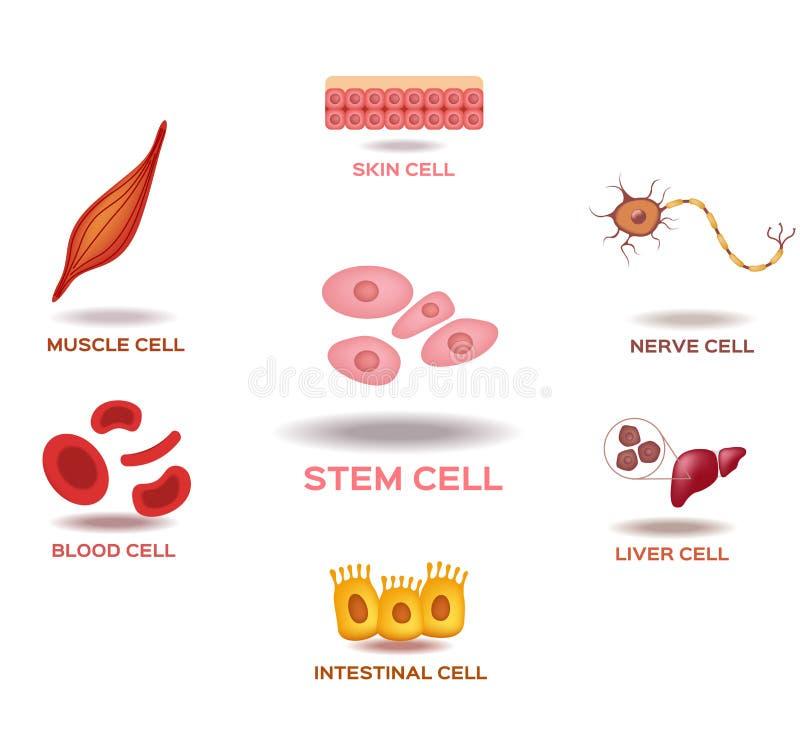 Illustration av de mänskliga applikationerna för stamcell vektor illustrationer
