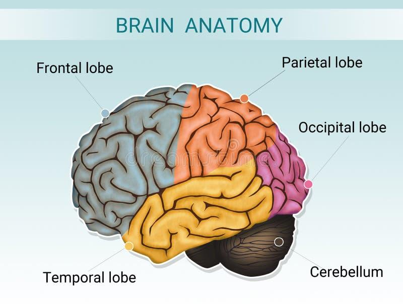 Illustration av hjärnanatomi vektor illustrationer