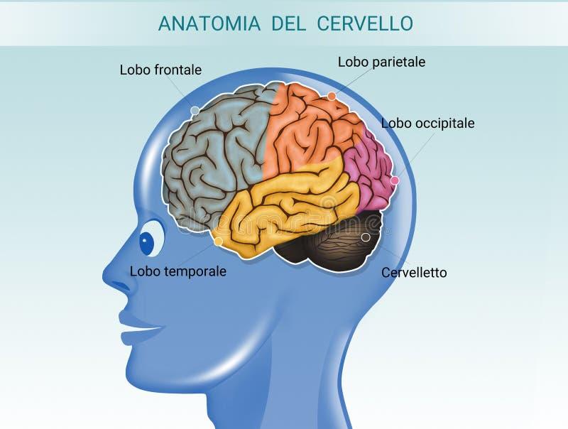 Illustration av hjärnanatomi royaltyfri illustrationer