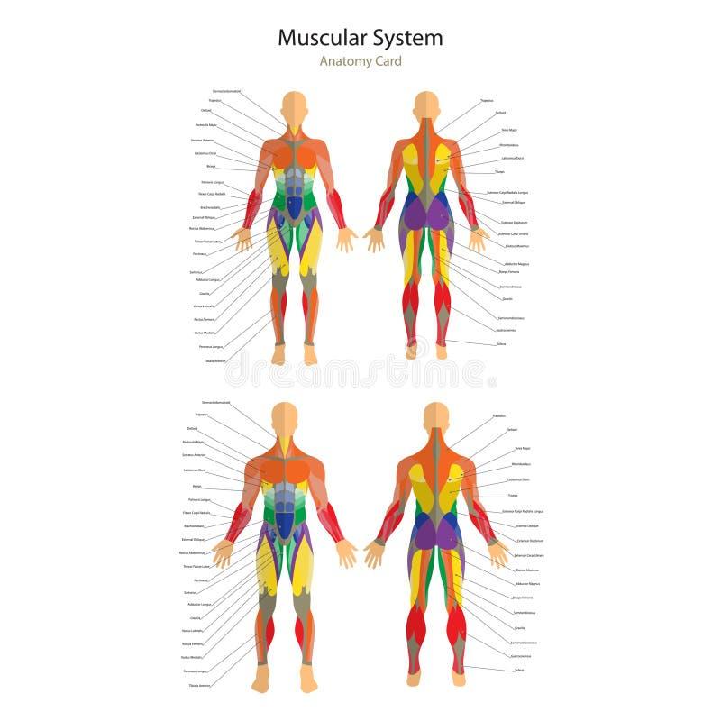 Illustration av mänskliga muskler Kvinnlig och manlig kropp Idrottshallutbildning Främre och bakre sikt Muskelmananatomi stock illustrationer