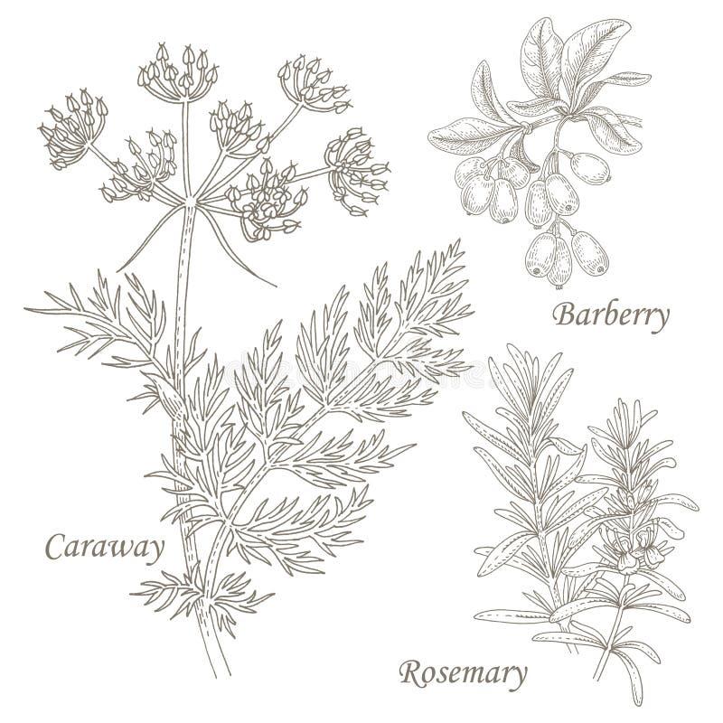 Illustration av medicinska örter kummin, barberry, rosmarin arkivfoto