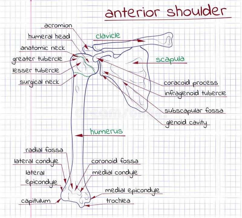 Illustration av strukturen av den mänskliga föregående skuldran vektor illustrationer