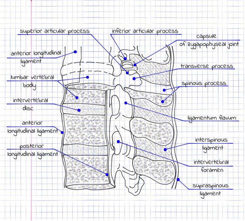 Illustration av strukturen av den mänskliga ryggen stock illustrationer