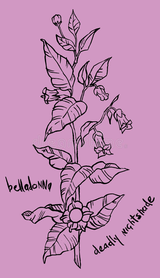 Illustration of a belladonna plant vector illustration