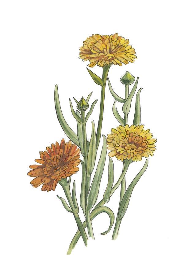 Illustration botanique d'aquarelle de calendula photographie stock