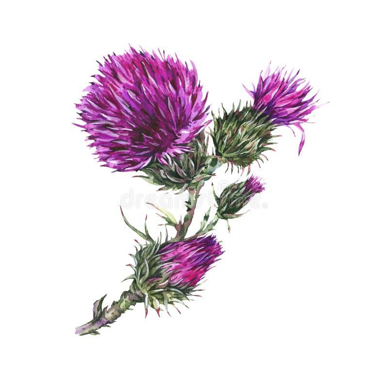 Illustration botanique d'aquarelle de chardon, fleurs sauvages, herbes de pré illustration libre de droits