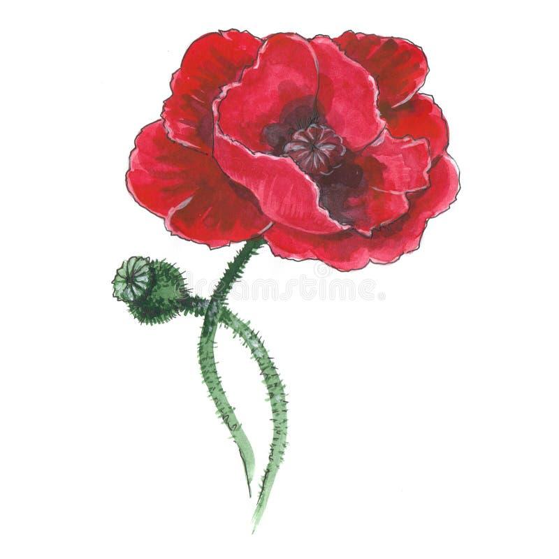 Illustration botanique d'aquarelle de pavot rouge illustration libre de droits