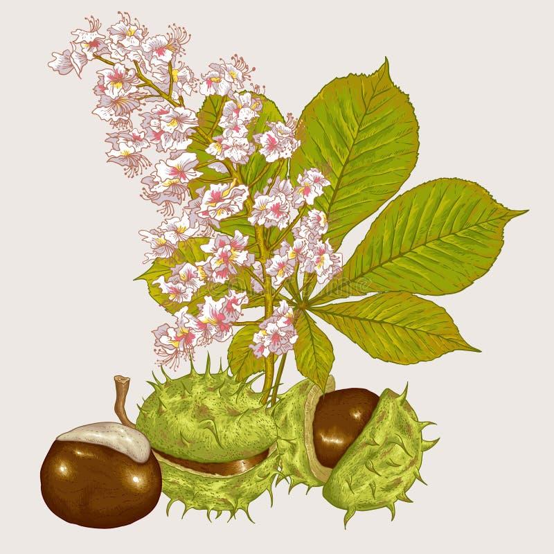 Illustration botanique de vecteur de châtaigne de fleur illustration libre de droits