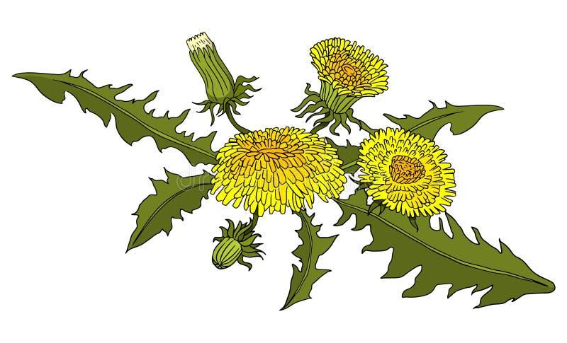 Illustration botanique tir?e par la main color?e de vecteur de pissenlits Pour des livres, autocollants, affiches, conception web illustration de vecteur