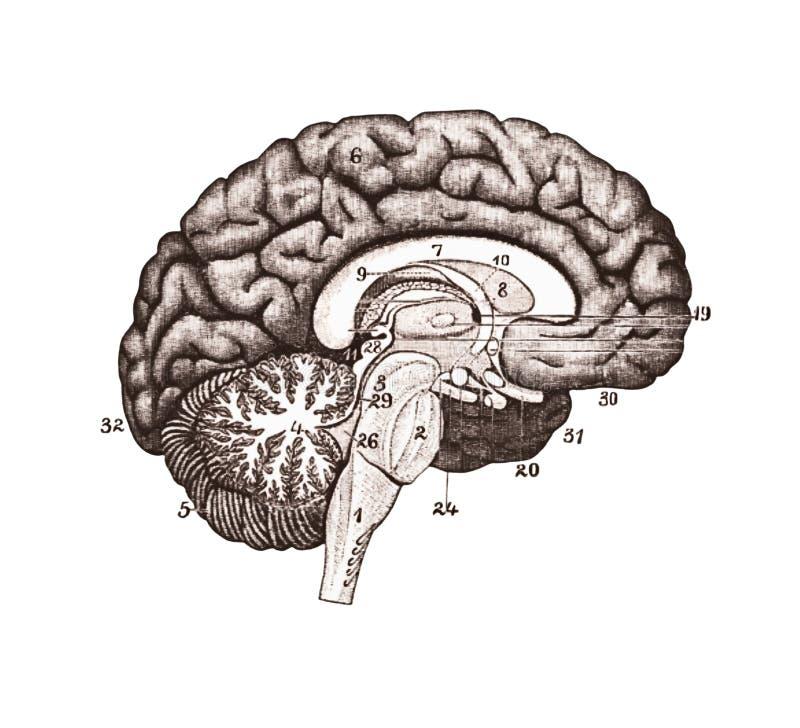 An illustration of brain sections. Brain Anatomy concept stock illustration