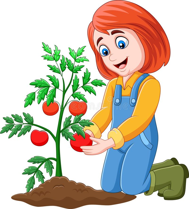 Cartoon girl harvesting tomatoes. Illustration of Cartoon girl harvesting tomatoes royalty free illustration