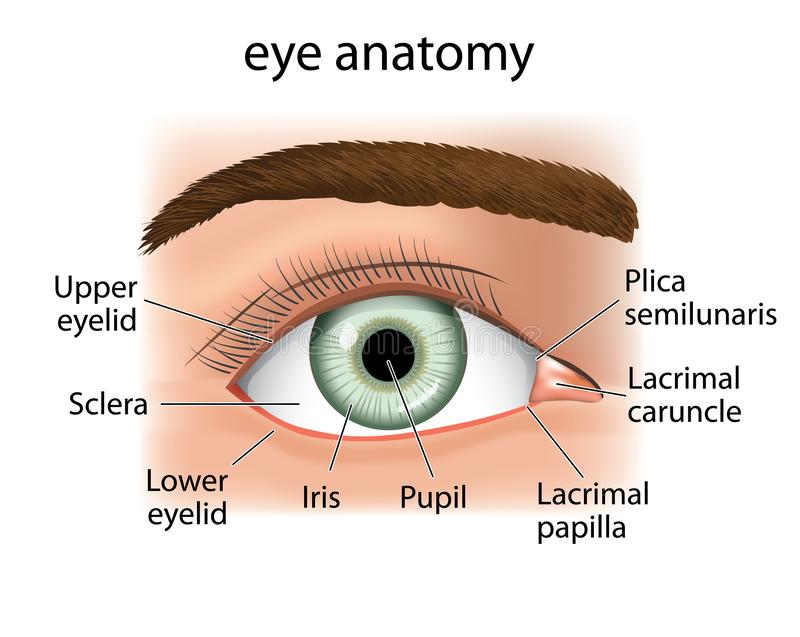 Illustration of a close and a human eye. Ideal for catalogs, informative and medical guides vector illustration