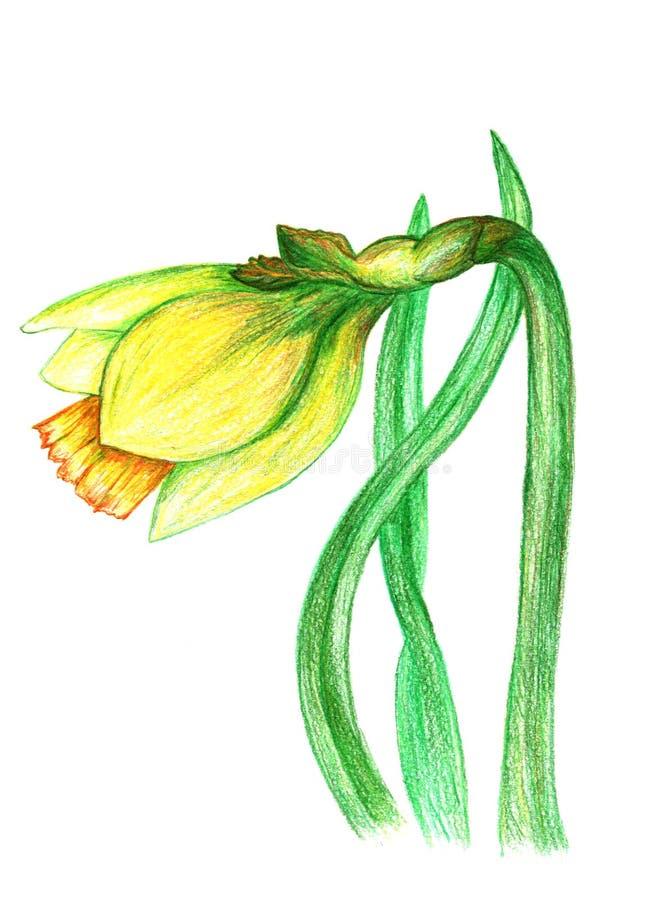 Illustration colorée tirée par la main de crayon de fleur de narcisse illustration libre de droits