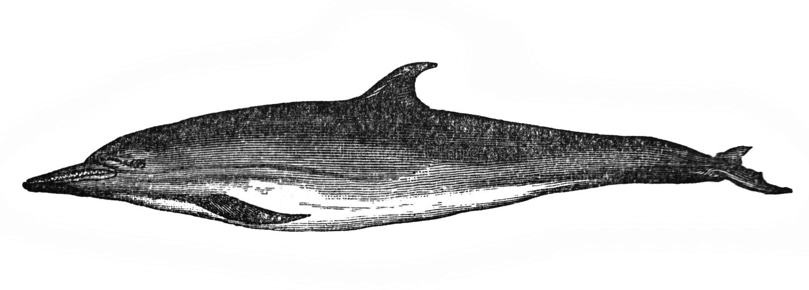 Illustration of the common dolphin of the Mediterranean Delphinus delphis in the old book The Encyclopaedia Britannica, vol. 15,. By C. Blake, 1883, Edinburgh royalty free illustration