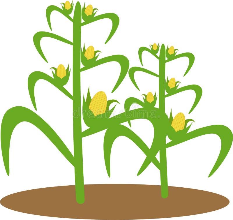 Download Illustration of corn plant stock image. Illustration of background - 115522285