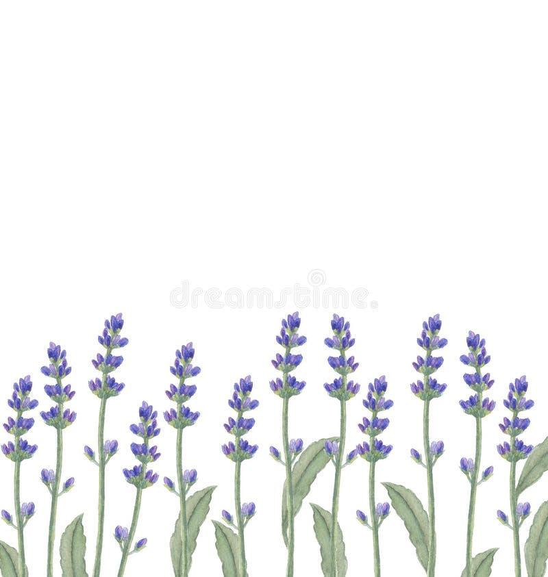 Illustration d'aquarelle avec des fleurs de lavande illustration de vecteur