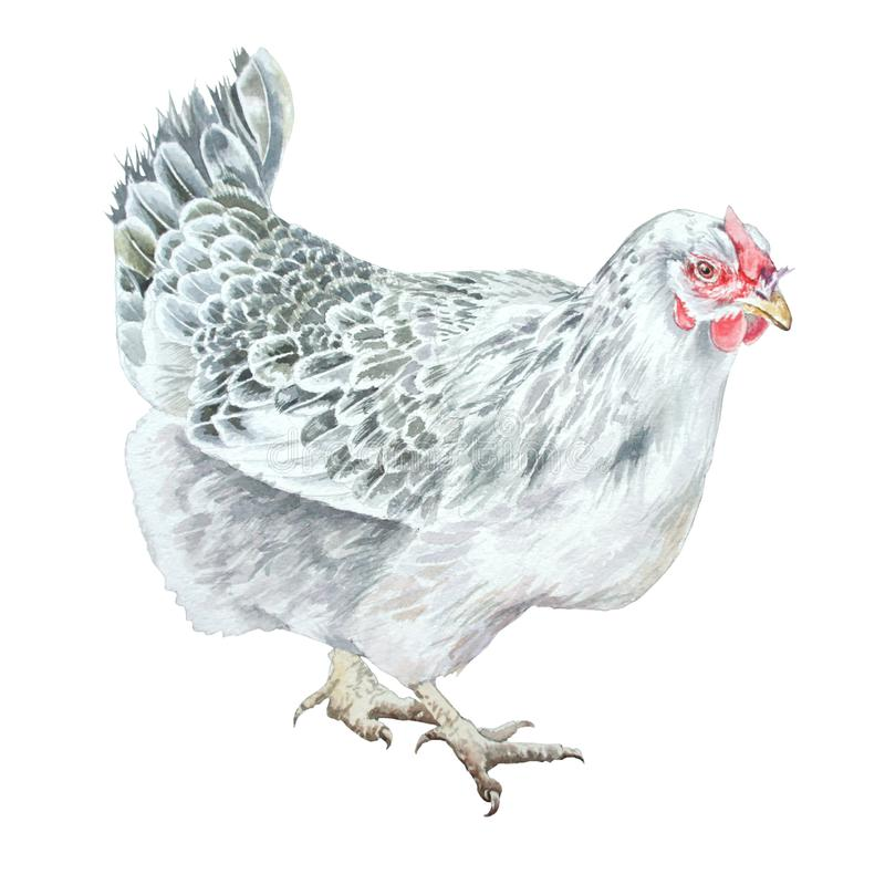 Illustration d'aquarelle avec la poule illustration de vecteur