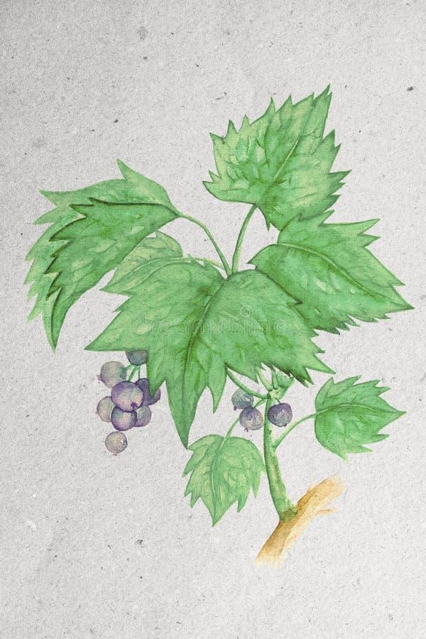 Illustration d'aquarelle avec une branche de cassis illustration stock