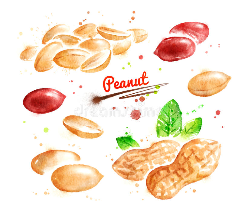 Illustration d'aquarelle d'arachide illustration de vecteur