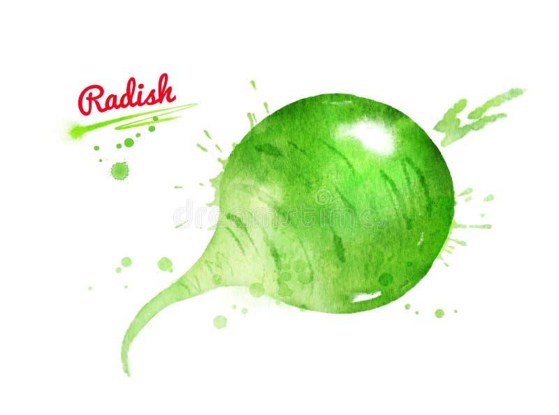 Illustration d'aquarelle de radis vert illustration de vecteur