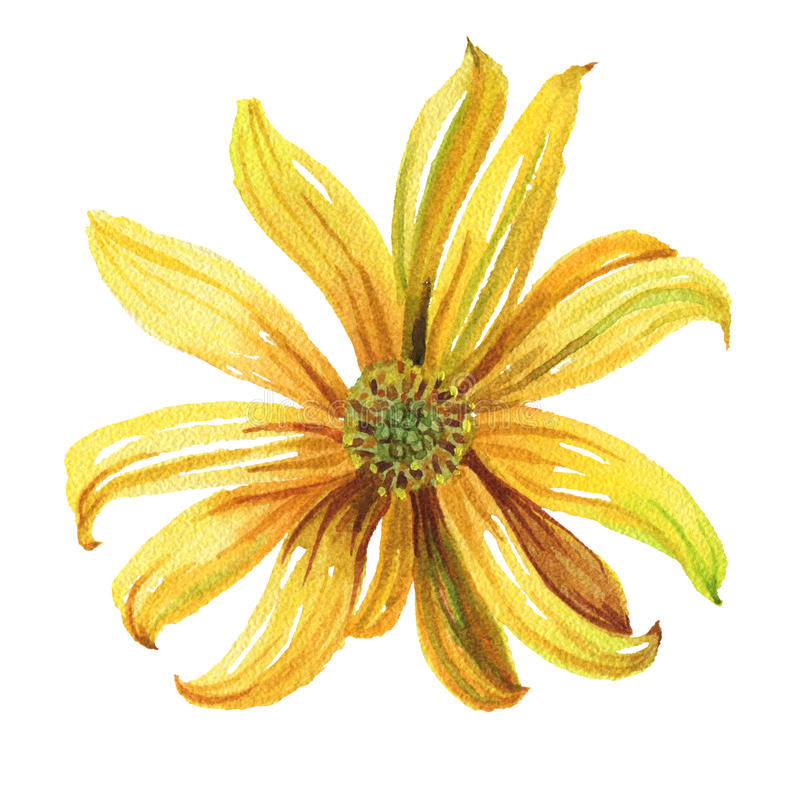 Illustration d'aquarelle Marguerite jaune ronde illustration de vecteur
