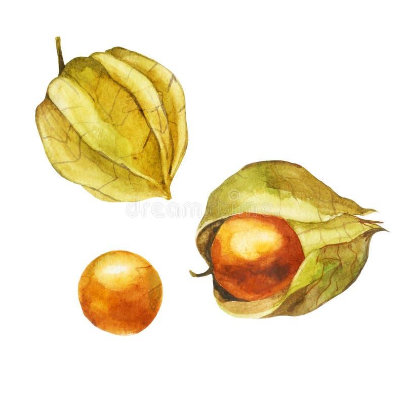 Illustration d'aquarelle Physalis illustration stock