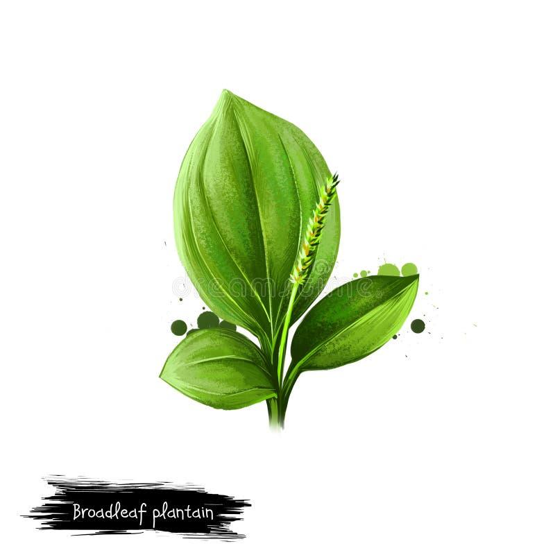 Illustration d'art de Digital du plantain feuillu, principal de Plantago d'isolement sur le fond blanc Nourriture saine organique illustration libre de droits