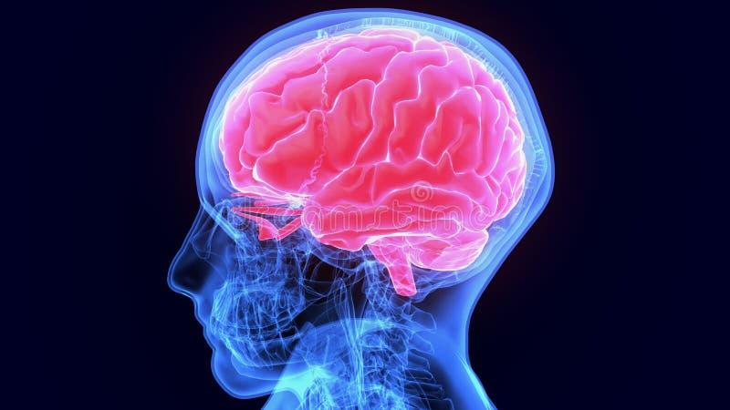 illustration 3d av anatomi för människokropporganhjärna stock illustrationer