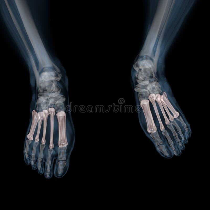illustration 3d av den skelett- metatarsalen för människokropp royaltyfri illustrationer