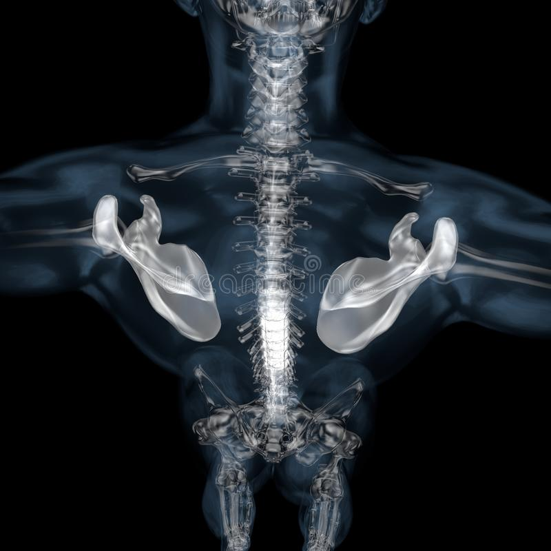 illustration 3d av den skelett- skulderbladen för människokropp vektor illustrationer