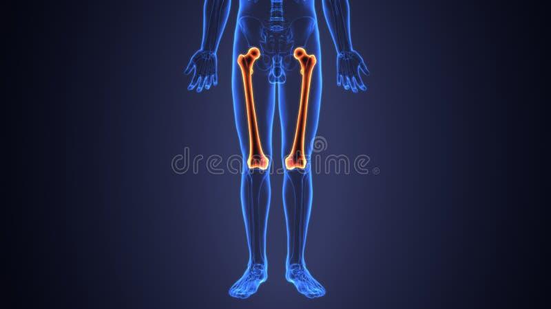 illustration 3D av lårbenet - del av det mänskliga skelettet royaltyfri illustrationer