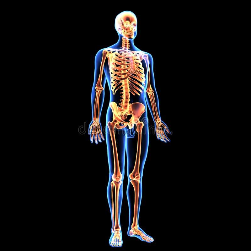 illustration 3d av människokroppskelettanatomi stock illustrationer