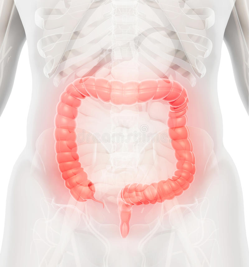 illustration 3D de gros intestin illustration stock