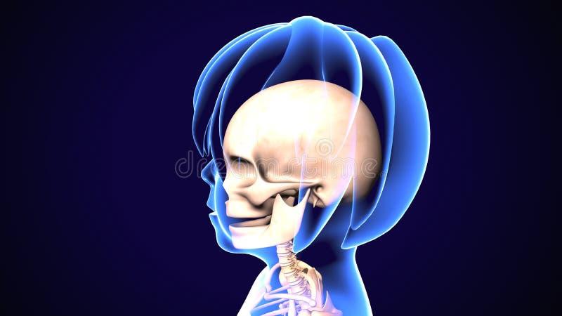 illustration 3D de l'anatomie de crâne - une partie de concept médical squelettique humain illustration stock
