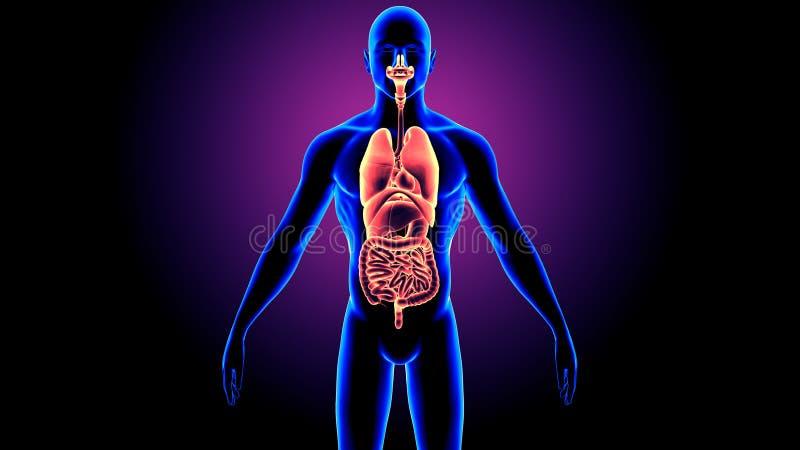 illustration 3D de l'anatomie d'organes de corps humain illustration libre de droits