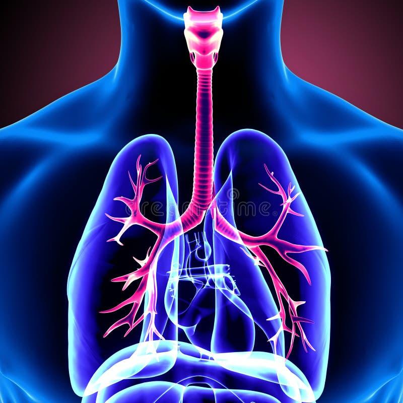 illustration 3d de l'anatomie de poumons de corps humain illustration de vecteur