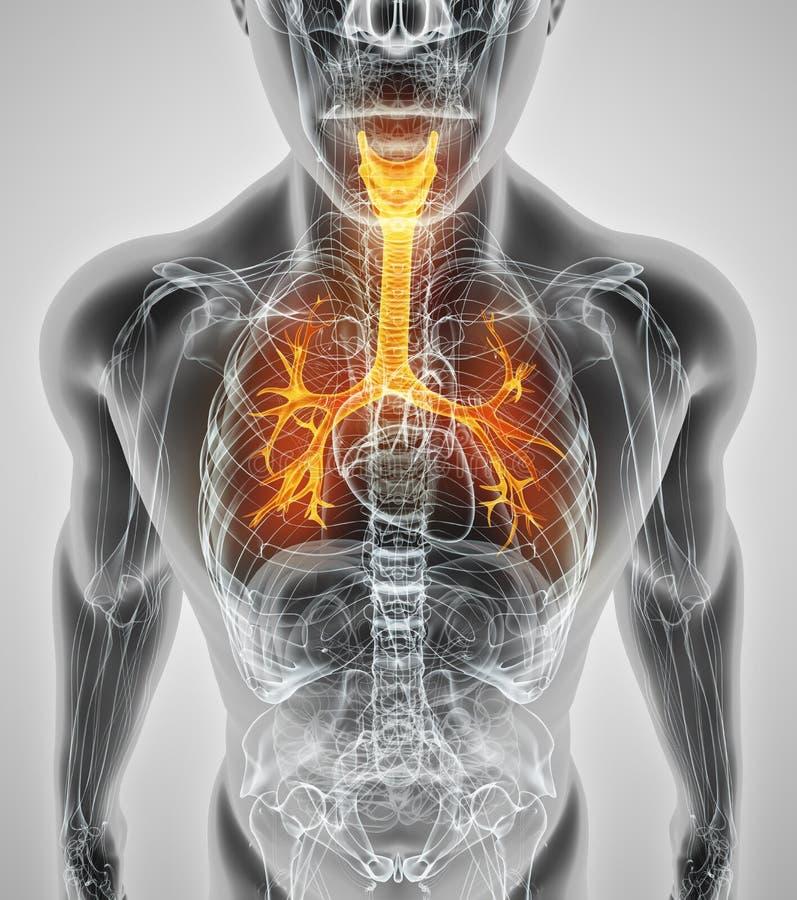 illustration 3D des bronches de trachée de larynx illustration libre de droits