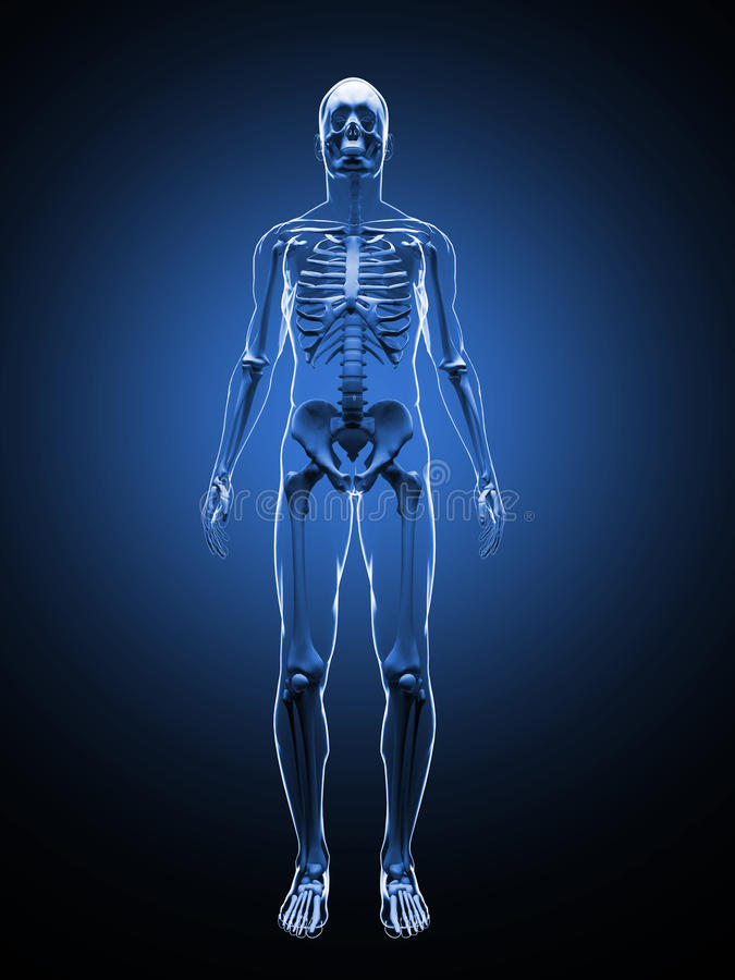 Illustration 3D des menschlichen Skeletts Front View Skeleton Schablone stockfoto