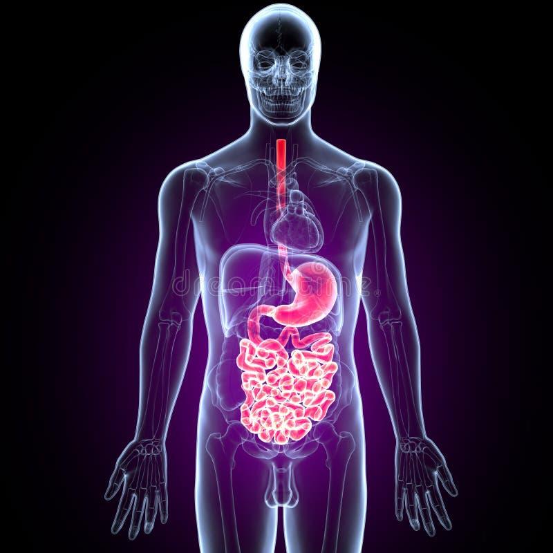 Illustration 3D Des Menschlichen Verdauungssystem Anatomie-Magens ...
