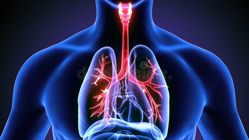 illustration 3d des poumons de corps humain illustration libre de droits