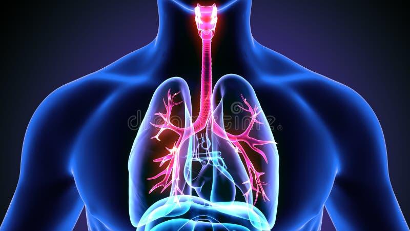 illustration 3d des poumons de corps humain illustration de vecteur