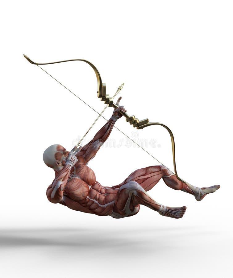 illustration 3D du syst?me musculaire masculin avec le tir ? l'arc illustration libre de droits