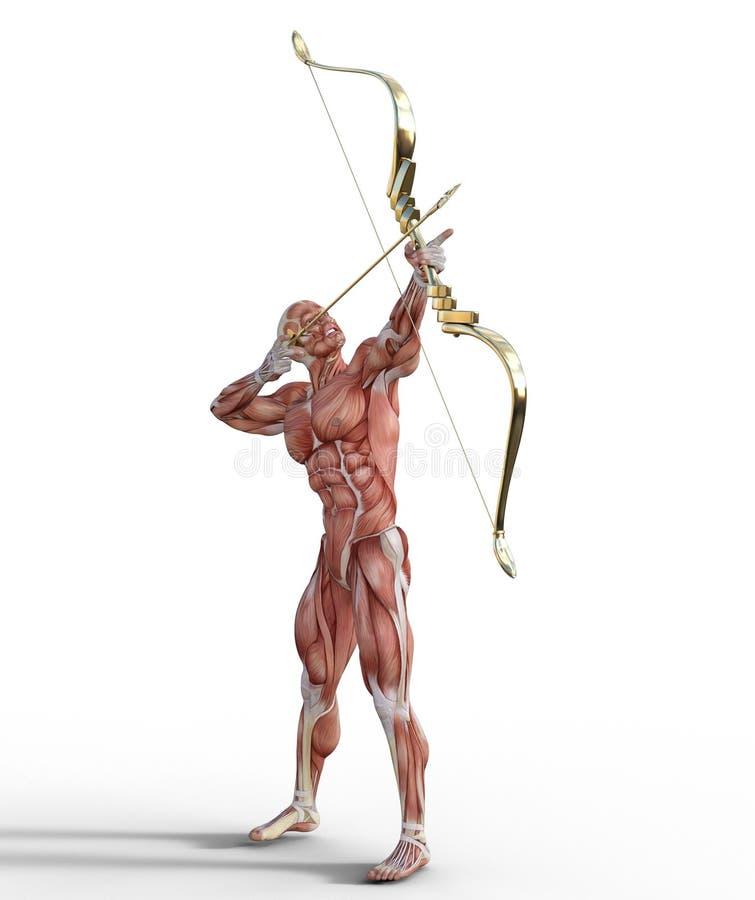 illustration 3D du syst?me musculaire masculin avec le tir ? l'arc illustration stock
