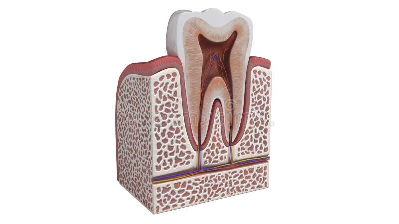 Illustration 3D einer Zahnanatomie stock abbildung