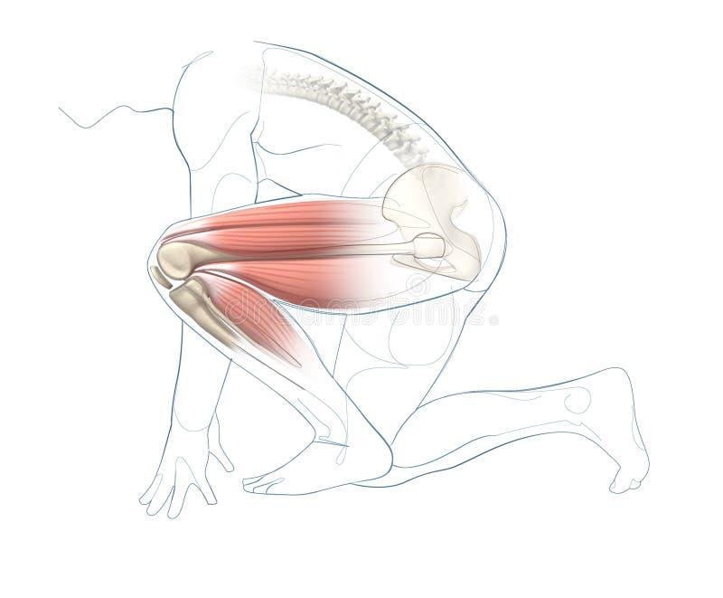 illustration 3d et approche d'ensemble du genou et la hanche, et muscles de la jambe illustration libre de droits