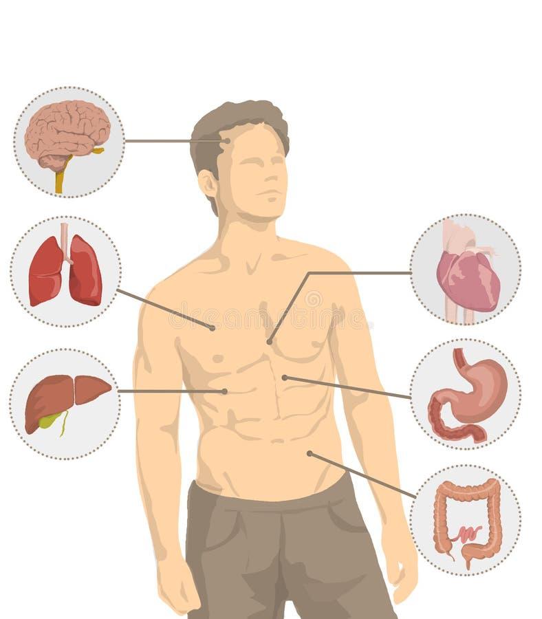 Illustration d'homme sans chemise avec les organes principaux du corps humain, coeur, cerveau, foie, intestin, estomac, poumons illustration de vecteur