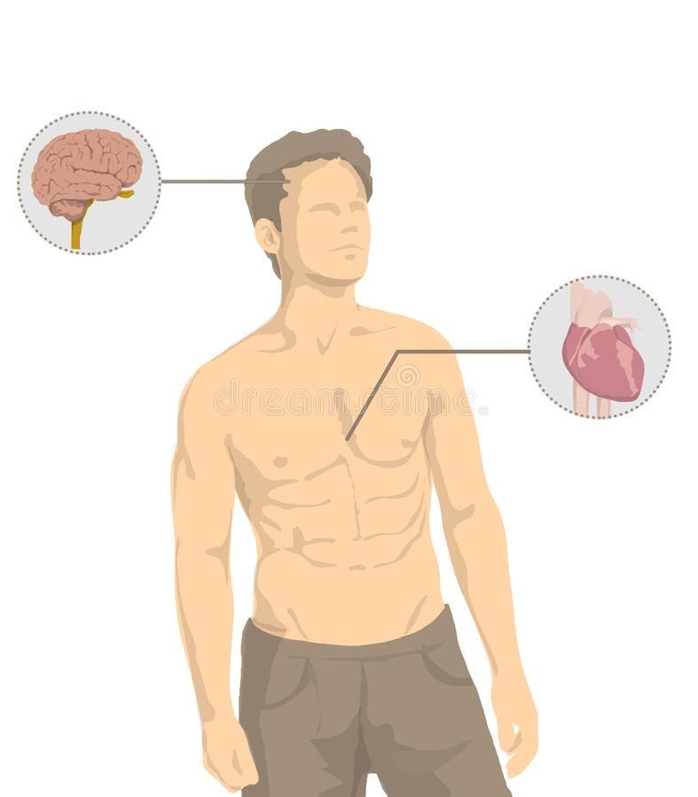 Illustration d'homme sans chemise avec les organes principaux du corps humain, coeur, cerveau, foie, intestin, estomac, poumons illustration stock