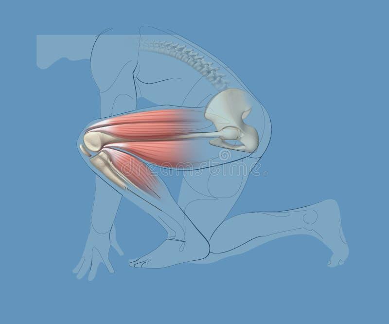illustration 3d och gemensam linje av knäet och höften och muskler av benet stock illustrationer