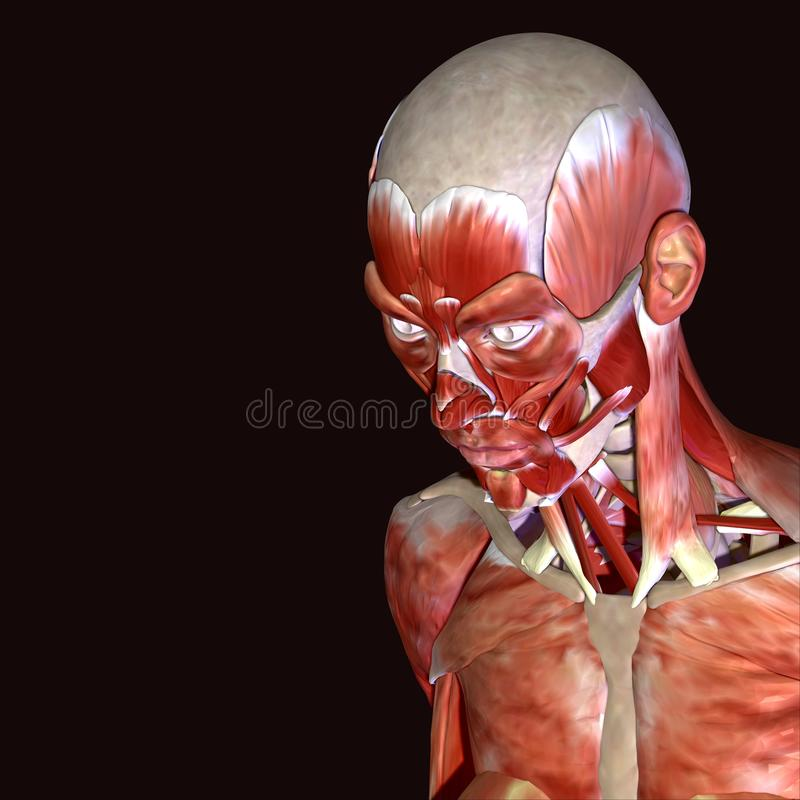 Illustration 3d Von Gesichtsmuskeln Des Menschlichen Körpers Stock ...